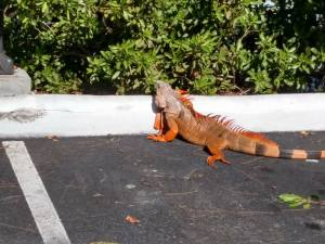 RV Animals iguana